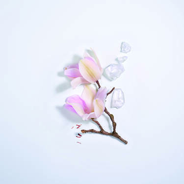 Magnolia Rosae(木兰蔷薇)